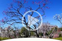 VR羽根木公園の梅